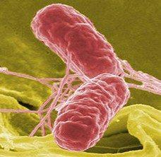 bakteri-salmonella-enfeksiyon