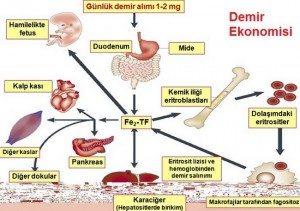 demir-eksikligi-anemisi1