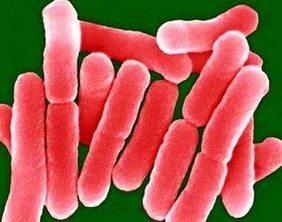 salmonella-bakteri