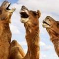 deve-camels