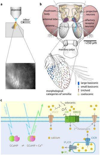 sinek-kanser