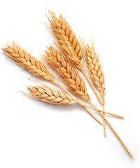 buğday -3