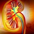kidney-bobrekler