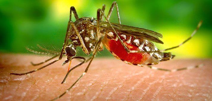moskitos-sivri-sinek