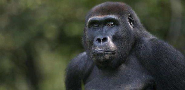 goril-maymun