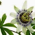 passiflora_proprieta_benefici