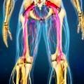 sinir-siyatik-bacak-damar
