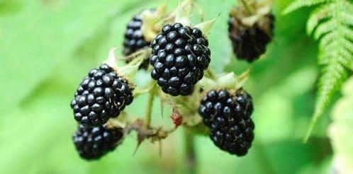 blackberry-bogurtlen-1