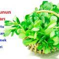 semizotu-purslane-bitki-15